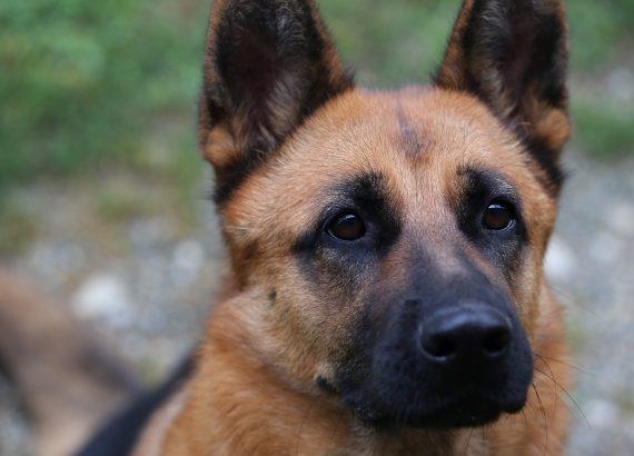 Einen deutschen Schäferhund erziehen