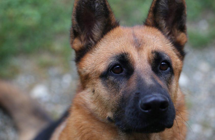 Die Erziehung des deutschen Schäferhundes